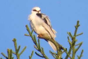 Black-shouldered Kite (Elanis axillaris)