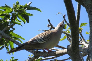 Crested Pigeon (Ochyphaps lophotes)