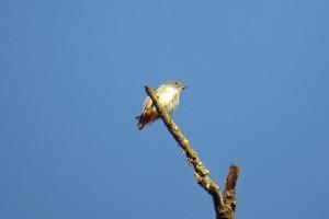 Mistletoe bird - female (Dicaeum hirundinaceum)