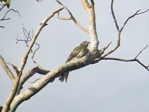 Olive-backed Oriole - male (Oriolus sagittatus)