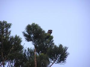Yellow-tailed Back Cockatoo (Calyptorhynchus funereus)