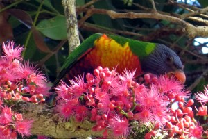 Rainbow Lorikeet (Trichoglossus haematodus)
