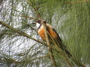Rufous Whistler - male (Pachycephala rufiventris)